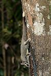 Sugar Glider (Petaurus breviceps) feeding on nectar from a tree trunk.
