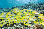 Fakarava Atoll, Tuamotu Archipelago, French Polynesia; a school of bluestriped snapper fish swimming over the shallow hard coral reef