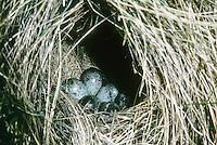 Bergpieper, Ei, Eier, Gelege im Nest, Bodennest, Berg-Pieper, Wasserpieper, Anthus spinoletta, rock pipet, water pipit
