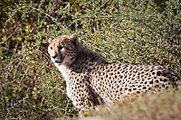 A Cheetah on the Shamwari Game Reserve, Grahamstown, Eastern Cape, South Africa (Wednesday July 22, 2009).   Photo: joliphotos.com