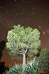 Italian stone pine tree, Pinus pinea, Stars in Night Sky, Sierra Morena, Andalucia, Spain, looking up trunk to canopy, star trails in sky, timelapse