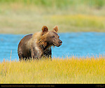Alaskan Coastal Brown Bear Cub Climbing Bank, Silver Salmon Creek, Lake Clark National Park, Alaska