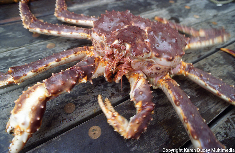 A red king crab which just arrived on deck on board the Maverick in the Bering Sea in Nov 1993. (C Karen Ducey)