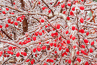 Barberry berry - fruit, ice berries in winter iced snow