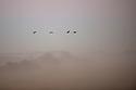 North America, United States, Nebraska, Wood River, Platte River. Sandhill Cranes flying through the dawn fog