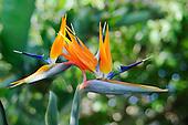 Bird of Paradise flower (Strelitzia reginae).