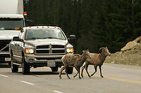 Two bighorn sheep stand in the middle of the road on Highway 93 near Jasper in the Canadian Rockies