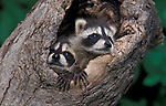 Racoon, Procyon lotor, Young 7 week old cub, emerging from tree hollw. captive.USA....