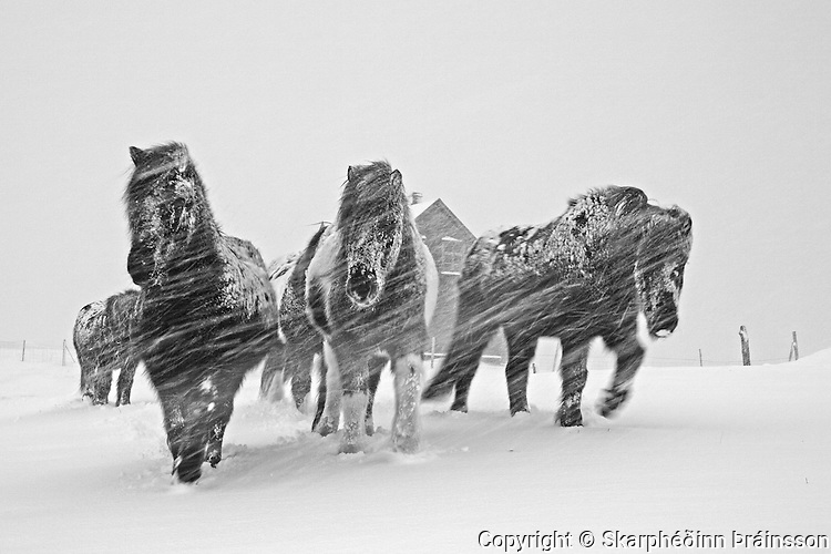 Icelandic horses in a snowstorm, Reykjanes, west Iceland