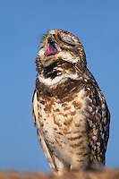 563973017 a wild adult burrowing owl athene cunicularia yawns while perched alongside its burrow at the salton sea national wildlife refuge in california