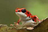 Strawberry Poison Dart Frog (Dendrobates pumilio), Bastimentos National Park.  Bocas del Toro, Panama.