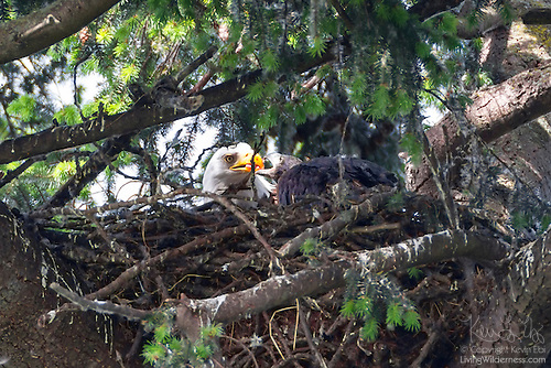 Bald Eagle: Adult Feeding Juvenile