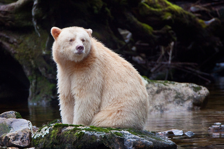 Kermode `Spirit` Bear sitting on a rock in a river