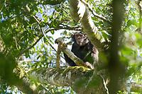 Wild Chimpanzee, Kibale National Forest, Uganda, East Africa
