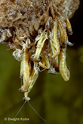 1M05-127z  Praying Mantis nymphs hatching from egg case  Tenodera aridifolia sinensis