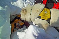 Fulpmes, Stubaital, Tirol, Austria, January 2006. Avalanche rescue dog Sandino and his partner search for the victim, during a training exercize. The Bergrettung Tyrol mountain rescue teams have to respond to avalanches within 30 minutes if the victims are to have any chance of surviving. photo by Frits Meyst/Adventure4ever.com