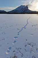 Fox tracks on a snow covered tundra pond with Mt Sukakpak of the Brooks range in the distance.
