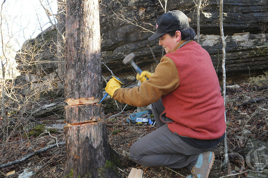 NWA Democrat-Gazette/FLIP PUTTHOFF <br /> Noah Sanders, a student at the University of Arkansas, intentionally kills a large cedar tree using the technique of girdling, or ring barking. A ring of bark and wood around the tree is removed and the tree dies over time. The dead tree remains standing to become habitat for birds and other wildlife. Some large cedars were killed by girdling during the glade restoration project.