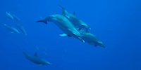 Common Dolphins, Delphinus delphis, Cabo San Lucas, Pacific Ocean