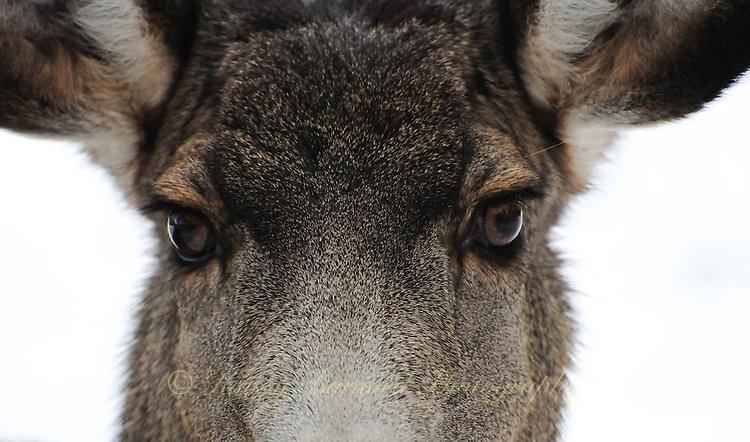 Close-up of beautiful doe eyes on a mule deer.