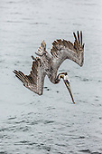 Brown Pelican diving for fish at Bolsa Chica Ecological Reserve