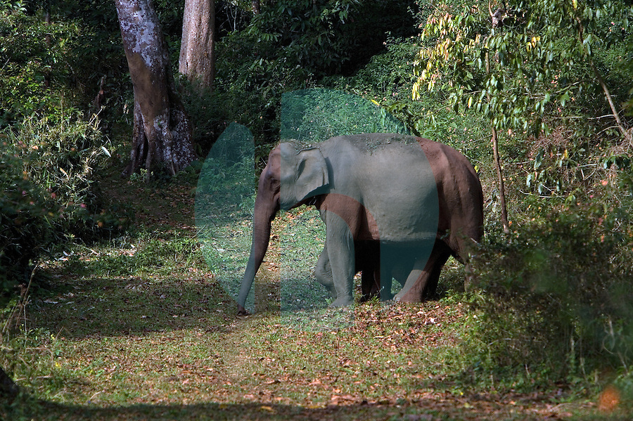 20080201_Periyar, India_ A group of wild elephants forage in the woods of the Periyar Wildlife Sancuary in the Southern Indian state of Kerala.  Photographer: Daniel J. Groshong/Tayo Photo Group