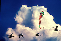 Getting above it: The eyes of the kite watches over flying  pelicans