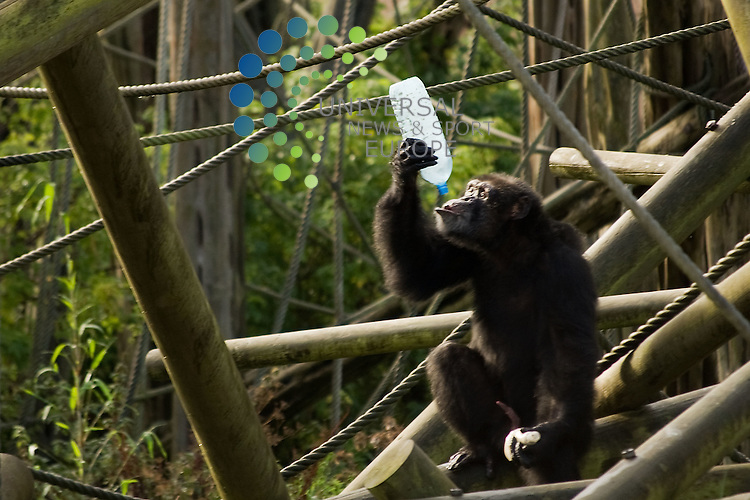 Chimps at Edinburgh Zoo support World Porridge Day. Keepers at the zoo prepared the chimps porridge from scratch before adding bananas, raisins and honey and serving it in plastic bottles so the chimps can drink it or use sticks as tools to access the food. The chimps collected bottles thrown into the Budongo Trail enclosure and took them up to the favourite perch to enjoy their breakfast. Picture: Jon Davey Universal News And Sport (Europe) 10 Oct 2011. All pictures must be credited to www.unpixs.com. (Office) 0844 884 51 22.