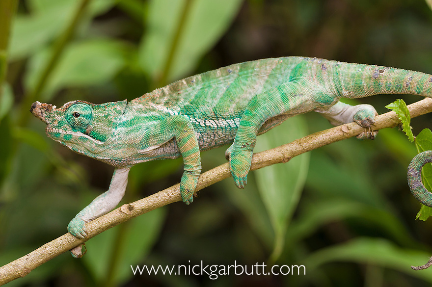 Male Two-banded or 'Belted' Chameleon (Furcifer balteatus) in rainforest understorey. Ranomafana National Park, south east Madagascar.