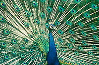 Male peacock, peafowl, displaying its full feathers
