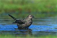 508920002 a wild female brewers blackbird euphagus cyanocephalus bathes in a small pond in a park in los angeles county california