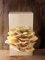 Fresh picked edible yellow or golden oyster mushrooms (Pleurotus citrinopileatus) in a grow box