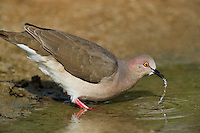 518230023 a wild white-tipped dove leptotila verreauxi drinks from a small pond on dos venadas ranch starr county texas united states