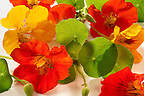 Fresh nasturtium flowers &amp; leaves