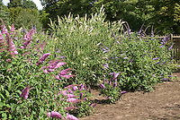 Pink, white, purple Butterfly bushes together Buddleja davidii