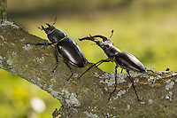 Hirschkäfer, Männchen und Weibchen, Paar, Pärchen, Paarung, Kopulation, Kopula, Hornschröter, Hirsch-Käfer, Lucanus cervus, Stag beetle, male and female, copulation, pairing, Schröter, Lucanidae, Stag beetles