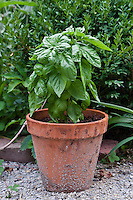 Genovese basil (Occium basilicum) growing in a flower pot.
