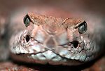 Western Diamondback Rattlesnake, Crotalus atrox, USA, America, venemous, poisonous, close up showing pit heat sensors on front of face, shallow depth of field.USA....