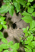 Eingang zum unterirdischen Bau, Höhle einer Wanderratte, Wander-Ratte, Ratte, Rattenloch, Rattus norvegicus, brown rat, commoner brown rat, Norway rat, common rat