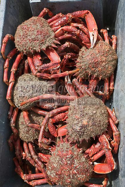 Europe/France/Bretagne/56/Morbihan/ Belle-Ile-en-Mer/Le Palais: retour de pêche -  Araignées de mer