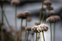 Close-up of a Coast Buckwheat flower with others in the soft background in horizontal/landscape orentation.