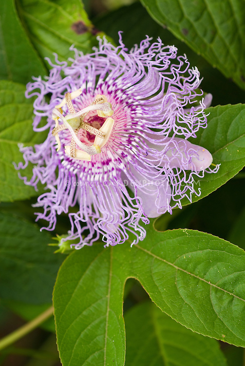 Passiflora incarnata Maypop Passionflower in exotic lavender purple bloom, climbing vine