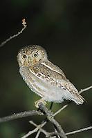 Elf Owl, Micrathene whitneyi, adult, Madera Canyon, Arizona, USA