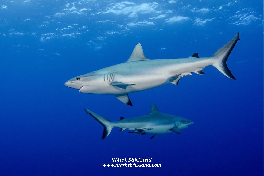 A pair of Gray Reef Sharks, Carcharhinus amblyrhynchos, patrol in mid-water. Beqa Lagoon, Viti Levu, Fiji, Pacific Ocean