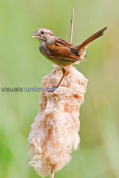 Swamp Sparrow, Ontario, Canada.
