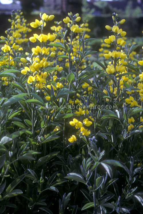 Thermopsis montana, native American wildflower in the west, in yellow bloom
