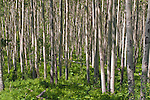 Grove of Aspen near Independence Pass, CO