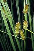 Northwest Territory Sedge (Carex utriculata), Sierra Nevada Range, California, USA