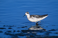 570953012 a wild red-necked phalarope shorebird in winter plumage stands in the shallows of san elijo lagoon in san diego county in southern california united states