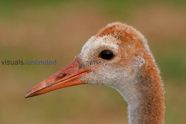 Sandhill Crane ,Grus canadensis,.
